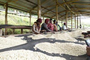 Rwanda coffee sorting