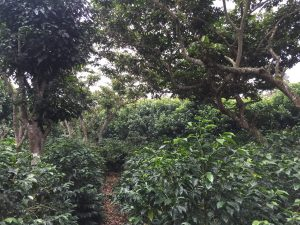 Las Cruces, healthy coffee plants