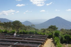 El Salvador, honey processed coffee drying