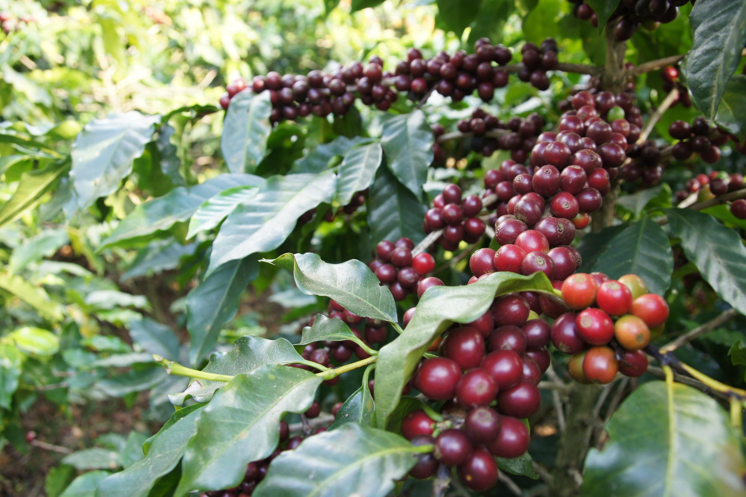 red ripe coffee cherries