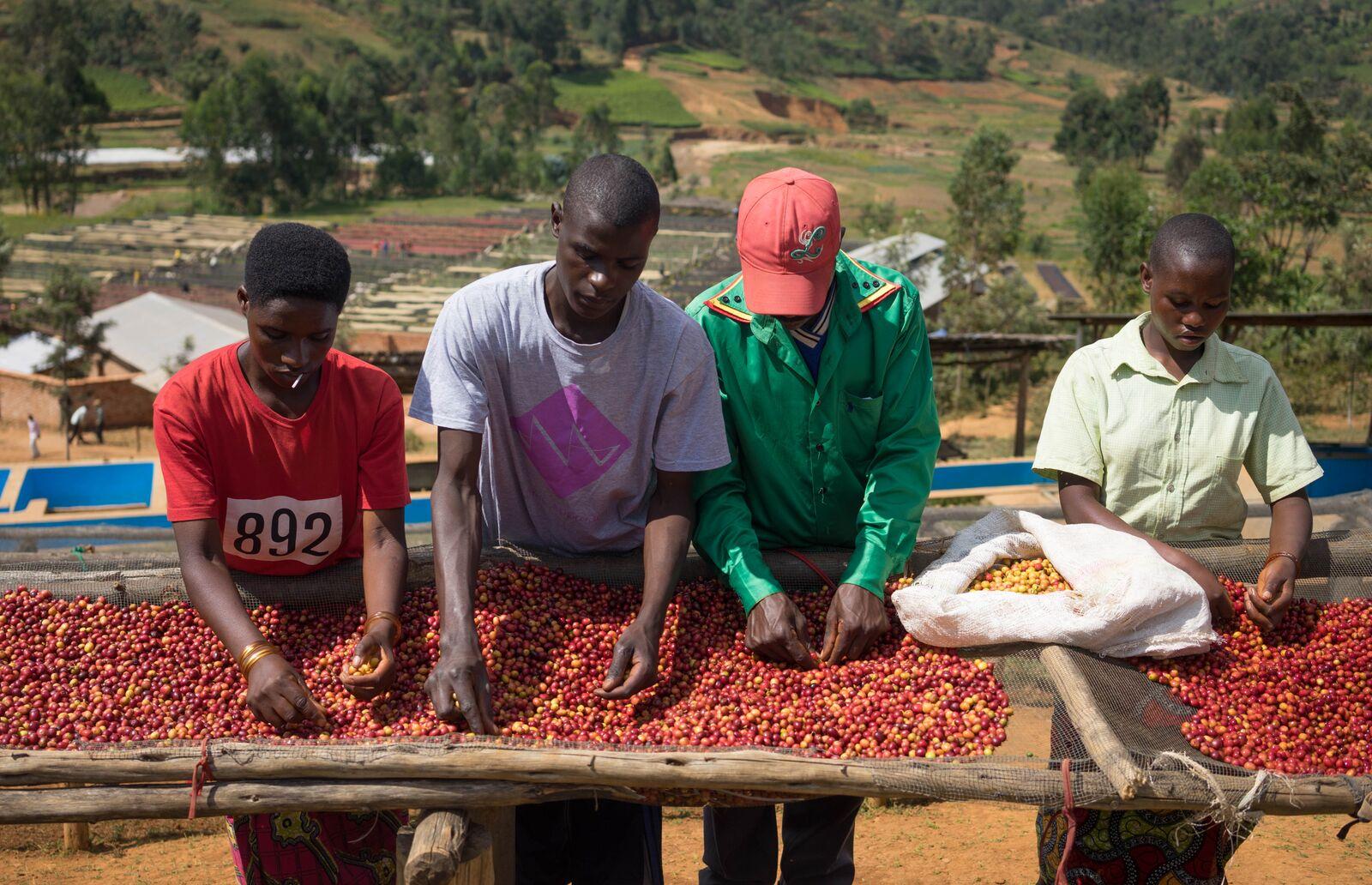 sorting coffee Burundi