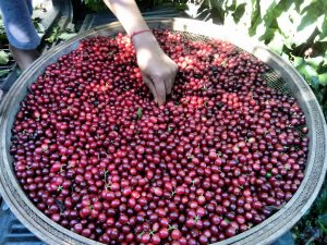 red ripe coffee cherries