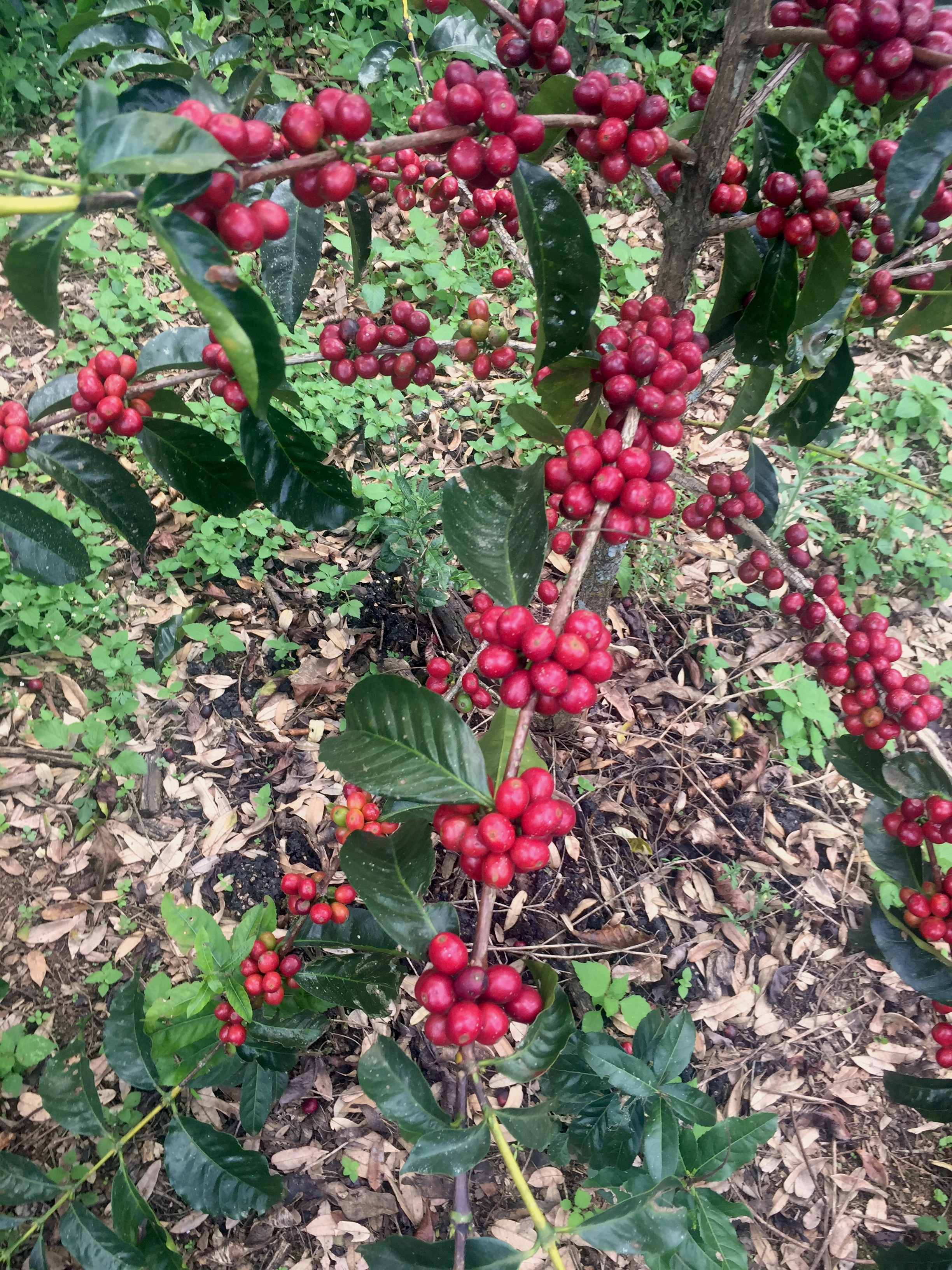 coffee cherries, lalo farm