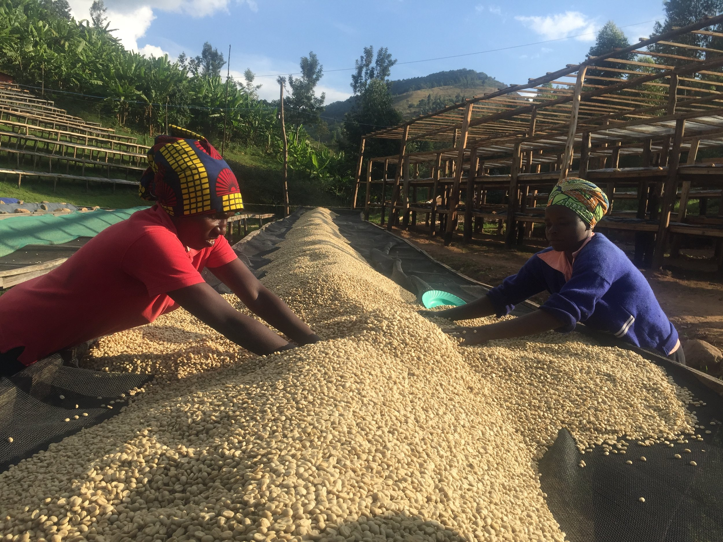 Turning and drying parchment from Jarama Western Rwanda