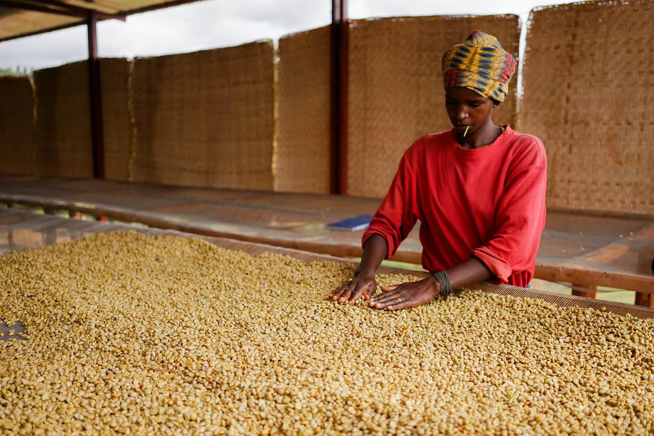 quality sorting coffee by hand in Rwanda