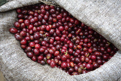 picked coffee cherries, red and ripe