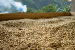Coffee on drying bed, Huila, Colombia