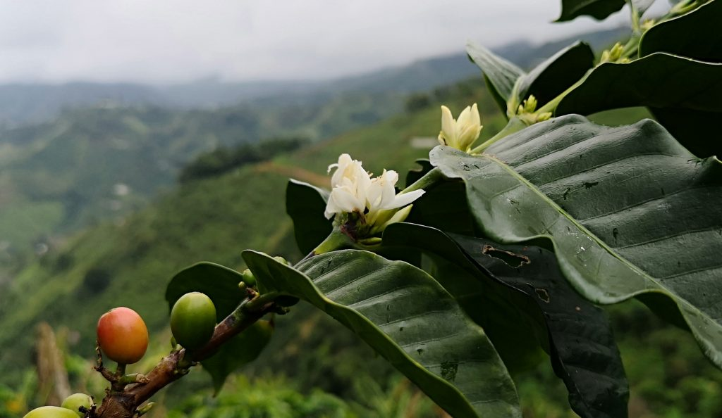 Coffee tree flowering in Huila. Harvest in Colombia